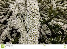 Shrub Small White Flowers - shrub with small white flowers van houtte u0027a spirea stock photo