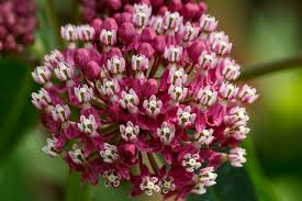 native michigan plants twelve native milkweeds for monarchs the national wildlife
