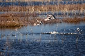 hunting guides in louisiana waterfowl hunting finest waterfowl hunting available for ducks