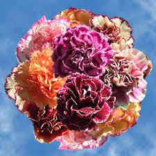 carnation flowers purchase carnation flowers bi color global