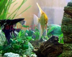 Live Plants In Community Aquariums by Freshwater Angelfish A Guide And Forums On Care