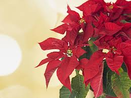 extend the life of a poinsettia first for women