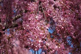 Cherry Blossom Tree Facts by Washington D C U0027s Cherry Trees Are Very Good At Planning For The