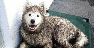 american eskimo dog odor wet dogs stink u2013 here u0027s why