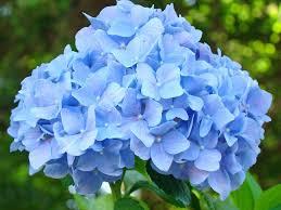 hydrangeas flowers blue hydrangea hamilton project