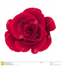 Flower Rose Single Flower Rose Stock Vector Image 50259314