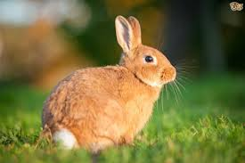 myxomatosis in rabbits pets4homes