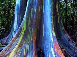 rainbow eucalyptus most beautiful tree bark on earth