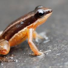 frogs of ecuador nature and culture international