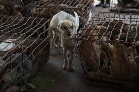 the shelter luke duggleby photography thailand s illegal dog meat trade