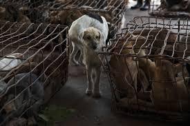 luke duggleby photography thailand u0027s illegal dog meat trade
