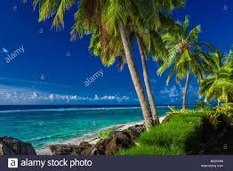 coconut palm trees over the tropical beach of rarotonga cook