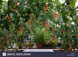 English Garden Pergola by Arch Pergola Trained Cherry Tomato Varieties Summer Vine Vegetable