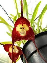 Monkey Orchids The Monkey Orchid U2013 Dawns Ad Lib Com