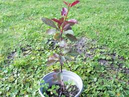 free ornamental plum tree seedling gardening seeds bulbs