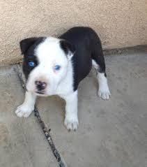 american pitbull terrier z hter deutschland pitsky american pit bull terrier u0026 siberian husky or alaskan