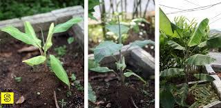 tiny banana malaysia mybigsfarm