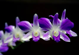 purple orchid flower flowers for flower purple orchid flowers pictures meaning