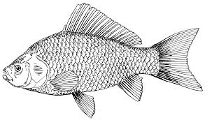 drawing of fish free download clip art free clip art on