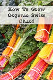 How To Grow Vegetables by How To Grow Organic Swiss Chard In Your Garden Moms Need To Know
