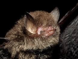 small bat woolly bats kerivoula sp