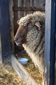 679 best sheep and goats images on pinterest country living