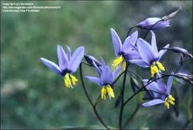 blue lilies plantfiles pictures nodding blue stypandra glauca by kennedyh