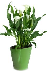 cala lillies calla lilies indoor flowers plant care rocket farms