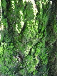 file greenish mold on a tree jpg wikimedia commons