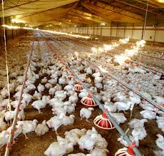 Backyard Poultry In India Water Consumption Rates For Chickens Poultry Hub