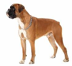 boxer boxer breed information
