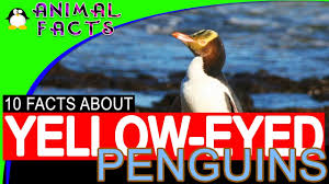 new zealand yellow eyed hoiho penguins facts for kids penguin