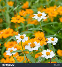 beautiful blooming flowers orange color stock photo 129568115
