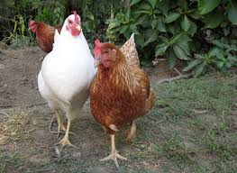 Chicken In Backyard Raising Chickens In New York City Laws Tips And Everything Else