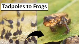 tadpoles to frogs youtube