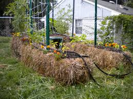 misadventures in straw bale gardening u2013 beats the alternative