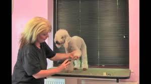 grooming a bedlington terrier puppy abbfabb academy grooming the bedlington terrier disc 1 part one