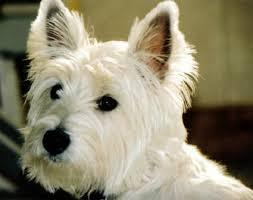 australian shepherd jack russell mix size jack russell mix breeds popular jack russell terrier mixes