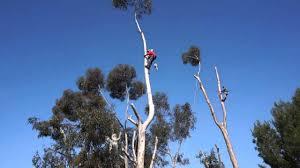 Eucalyptus Trees Trimming Eucalyptus Trees Youtube