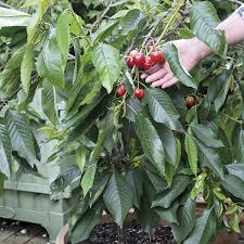 patio fruit trees delivered direct by d t brown seeds