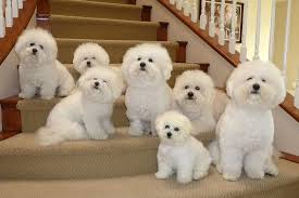cost of a bichon frise frise puppies price range how much do bichon frise cost