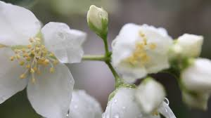 rain drops on beautiful jasmine buds blooming philadelphus