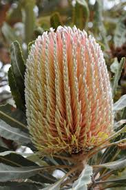native plants of australia 106 best banksia