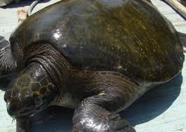 imagenes tortugas verdes cuánto sabemos de las tortugas verdes en arica conservacion y