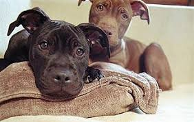 american pitbull terrier illegal is your bully breed banned bully breeds animal planet