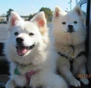 american eskimo dog dallas american eskimo dog breed zoe fans blog cute baby animals