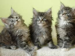 Colorado traveling with cats images Coonplay maine coon cat cattery kitten breeder of colorado jpg