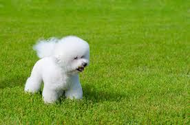 bichon frise intelligence 17 best images about bichon frise puppies on pinterest puppys