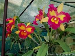 orchid plants for sale cattleya orchid india buy cattleya sobha orchids kerala