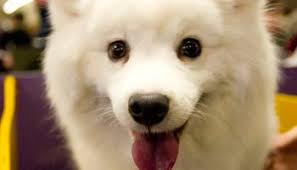 australian shepherd eskimo spitz mix how short can you cut an american eskimo dogs u0027 hair